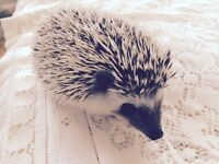 Beautiful Friendly Female Hedgehog
