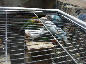 LOVEBIRDS 10 FOR SALE FISCHERS AND BLACK MASK