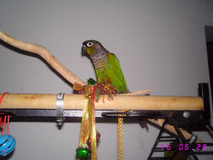 Beautiful Green Cheeked Conure Parrots