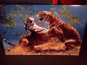 Bengal Tigers Picture