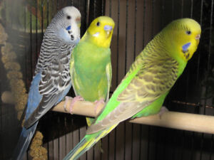 BREEDER BUDGIES (NOT TAME)
