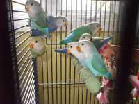 Lovebirds available at Rachelle's Happy Wings Aviary