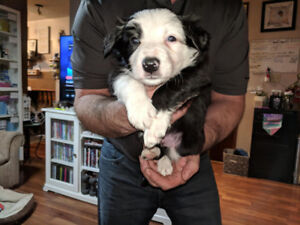 Border collie puppies all adopted !!!
