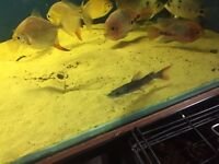 Asian Red Tail Catfish