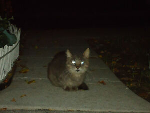 Grey Cat 2 Male Found Windsor Region Ontario image 4