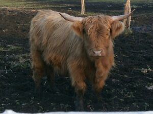 Quality Highland Cattle for Sale Kingston Kingston Area image 6