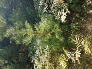 Pine and spruce trees
