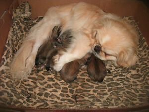 Pekingese/Pomeranian mix puppies