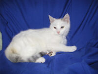 *** Neutered/Spayed Kittens - Adorable and Sweet!! ***