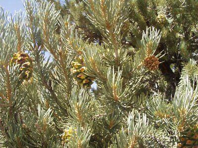 Pinyon Pine Trees (Pinus cembroides monophylla SINGLE LEAF PINYON PINE TREE)