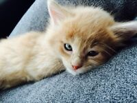 8 mth old kitten to give away
