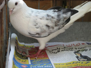 Iranin high flying pigeons for sale