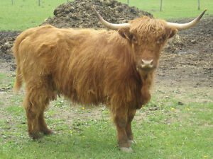 highland cross bull and  hiefer