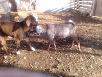 Two male goats