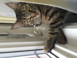 MISSING TABBY CAT - PLEASE CALL ASAP