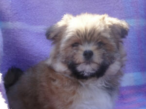Morkie Poodle Puppies