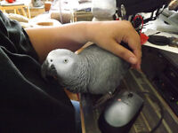Talking,Male African Grey