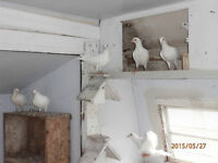 White Homing Pigeons