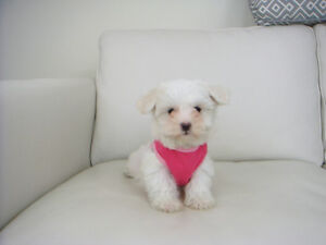 Tiny Toy/Teacup Maltese Puppies