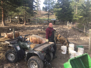 1 boar and 2 sow pigs