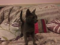 Russian blue kittens GCCF registered read now