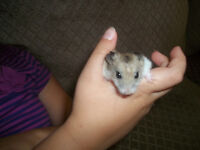 2 Baby Chinese Dwarf Hamsters and cage