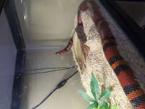 Two year old corn snake needs new home.