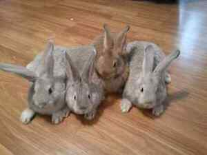 Flemish giant bunnies