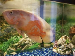 Oscar Fish for sale