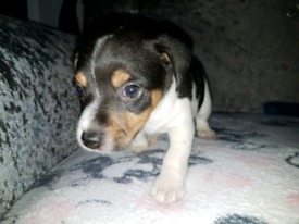 Tri Jack Russell