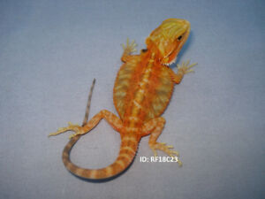 Male Bearded Dragons For Sale - Hamilton