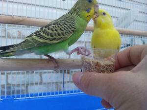 Yellow Budgie and all Accessories for sale!