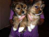 SHORKIES for sale