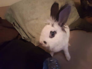 Selling a 7 mth old Sweet lion head X rex bunny rabbit.