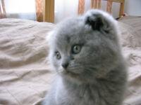 Magnifiques chatons Scottish Fold et Straight.