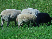 Baby Rams For Sale