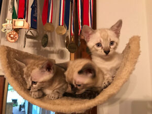 Bengal kittens, many available