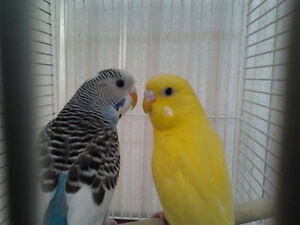 FRIENDLY MALE AND FEMALE  BUDGIES $ 40.00 PER PAIR
