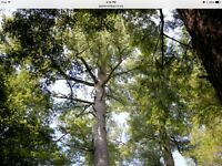 Large Eastern White Pine Tree for Sale!