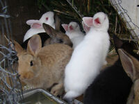 SUMMER BLOWOUT - 9 Week Old New Zealand X Rabbits