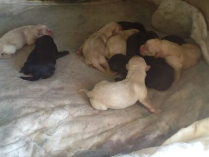Purebred Labrador puppies Glenfield Park Wagga Wagga City Preview