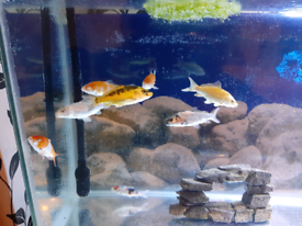 4 inch koi, 8 inch koi and large golden rudd for sale