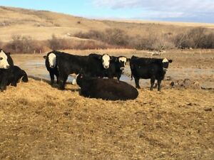 BIRCHAM RANCH BRED HEIFERS FOR SALE