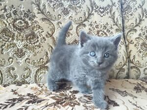 Very cute kittens, Russian blue and Black!!!