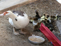 Young Muscovy ducks