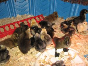 Khaki Campbell ducklings