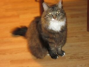 MAINE COON FEMALE CAT