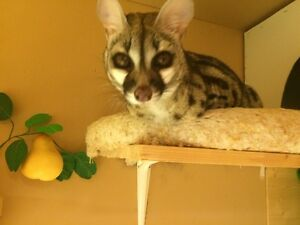 spotted genet for sale