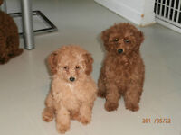 2  tres beau male caniche rouge toy