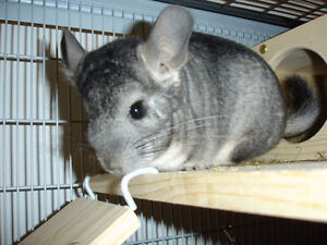 standard grey Chinchillas